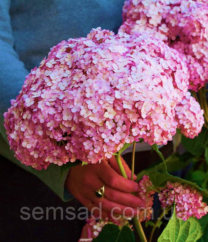 Гортензия древовидная Свит Аннабель  \  Hydrangea arborescens Sweet Annabelle ( саженцы 2 год ) ЗКС