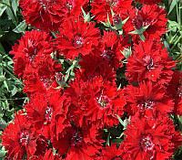 Семена гвоздика  Чибо F1, красная Hem Genetics 1000 шт