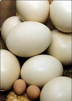 Скорлупа страусиного яйца