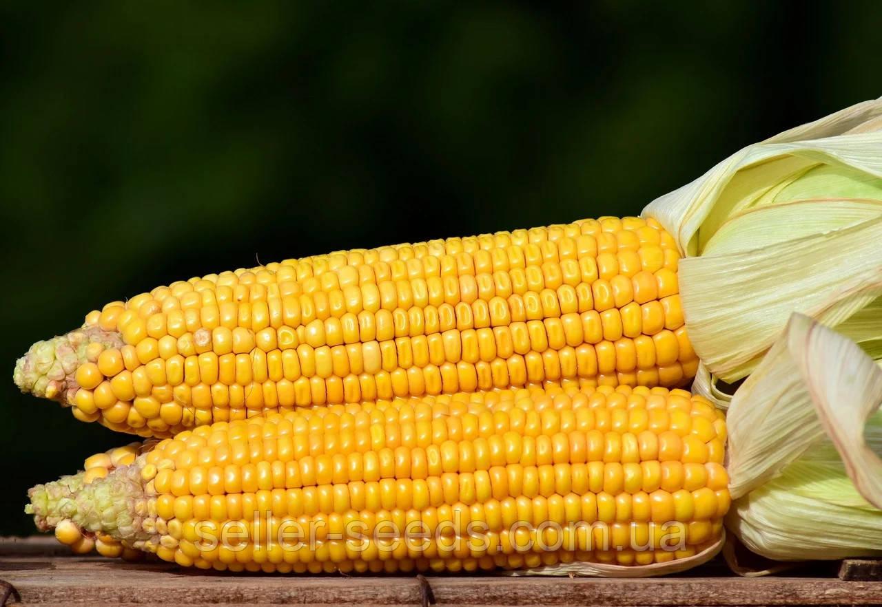 Семена кукурузы Днепровский 181 СВ ФАО 180