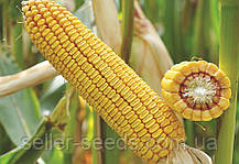Семена кукурузы ДН Галатея ФАО 260