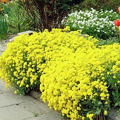 Семена Алиссум Скальный 0.1 г W.Legutko 6035