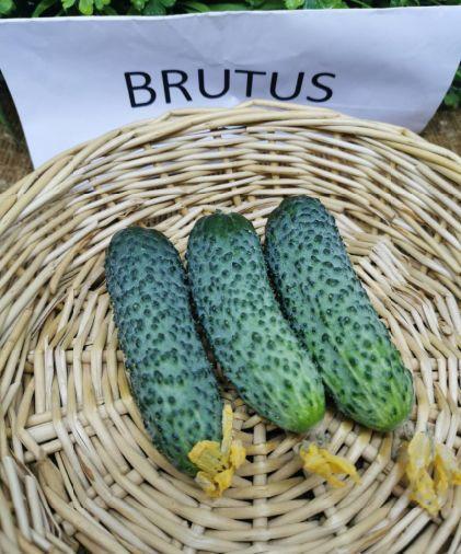 Семена огурца Брутус F1 (250 сем.) Innova Seeds