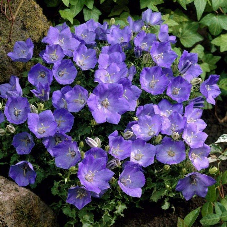 Семена Колокольчик карпатский голубой 0.1 г W.Legutko 6042