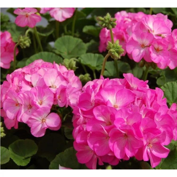 Семена Пеларгония зональная Найт Роуз F1 5 семян W.Legutko 6051
