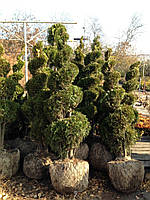 Туя  западная Смарагд/   Thuja occidentalis Smaragd СПИРАЛЬ 1,8 м