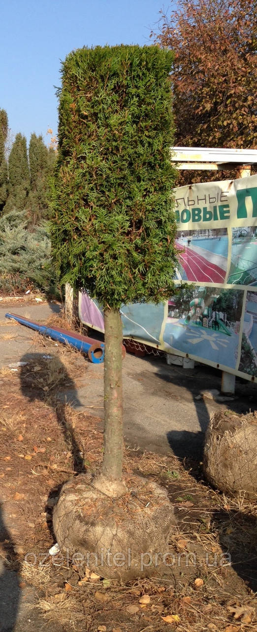 Туя западная Смарагд/ Thuja occidentalis Smaragd  КУБ, ПИРАМИДА (1,3)