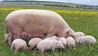 Премікс 0,5% для свиноматок лактуючих. Франція