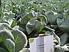 Семена капусты Анкома F1 \ Ancoma F1 калиброванных 1000 семян Rijk Zwaan