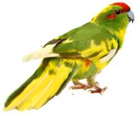 Новозеландский попугай, Какарик