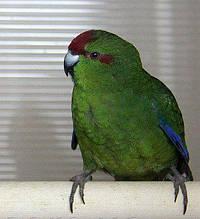 Новозеландський папуга, Какарик зелений