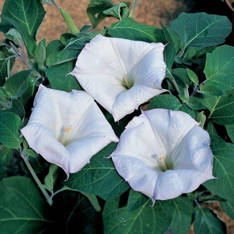 Семена Датура Волшебница 20 семян W.Legutko 6060