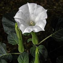 Семена Датура Волшебница 20 семян W.Legutko 6060, фото 3