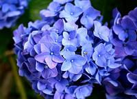 Гортензии: буйство красок в вашем саду