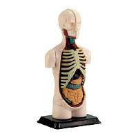 Модель тулуба людини збірна 12,7 см Human body anatomy model