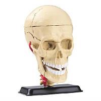 Модель черепа  людини збірна 9 см Cranial nerve skull anatomy model