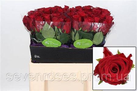 Роза Rhodos 60см