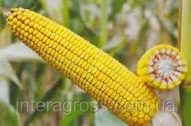 Купить насіння кукурудзи ДН Зоряна