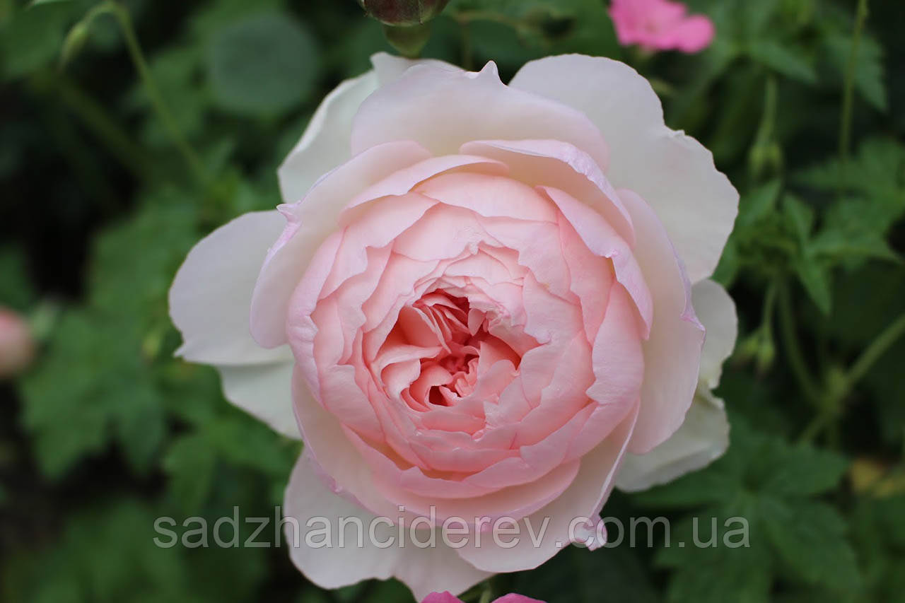Саджанці троянд Шаріфа Асма (Sharifa Asma)