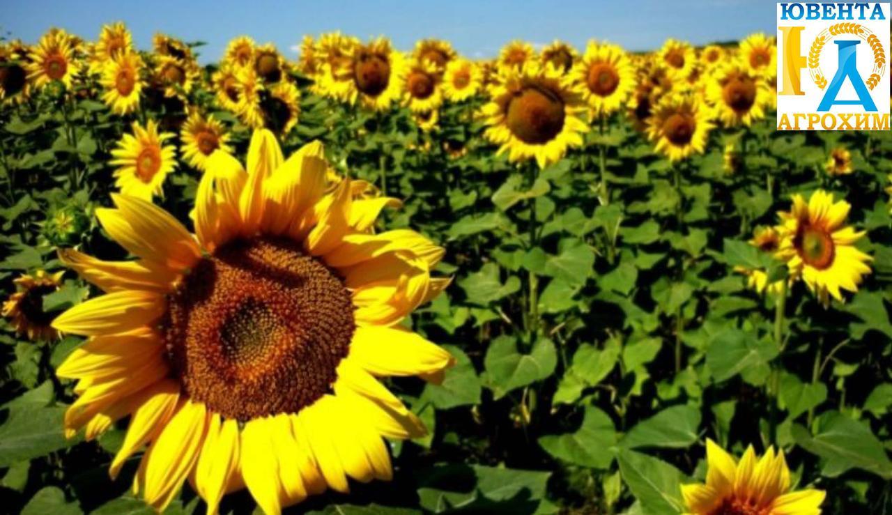 Семена подсолнечника Субаро HTS (обработан Круизером)