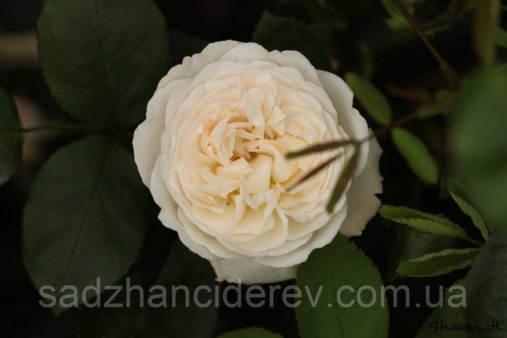 Саджанці троянд Вінчестер Катедрал (Winchester Cathedral)