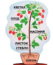 Модель будови рослин (на підставці) 36 см