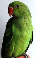 Ожереловый попугай - зеленый, фото 1