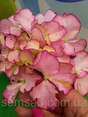 Гортензия крупнолистная Адула Пинк \Hydrangea Adula Pink  ( саженец 2.5.года), фото 2