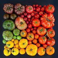 Способ выращивания ранних помидоров