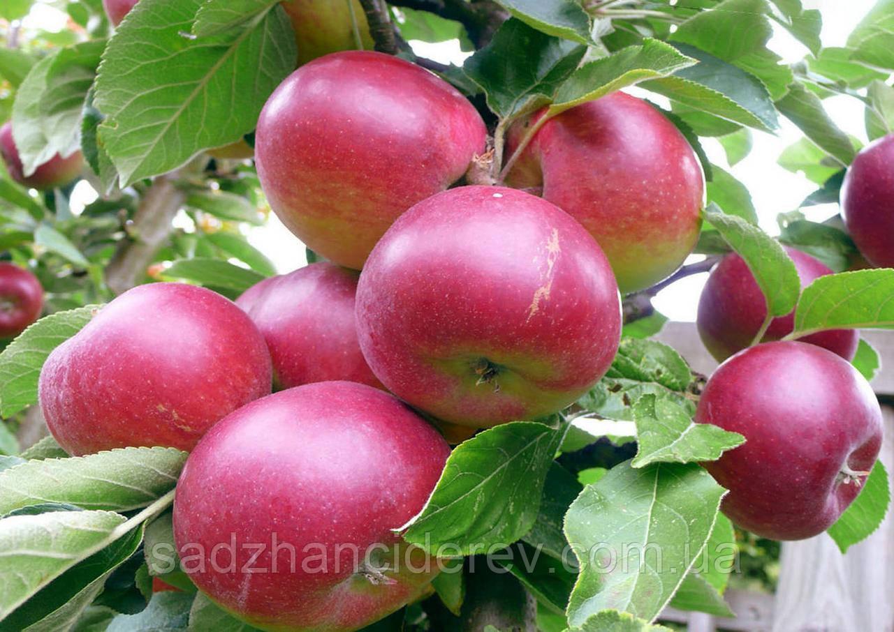Саджанці яблунь  Синап Алматинський