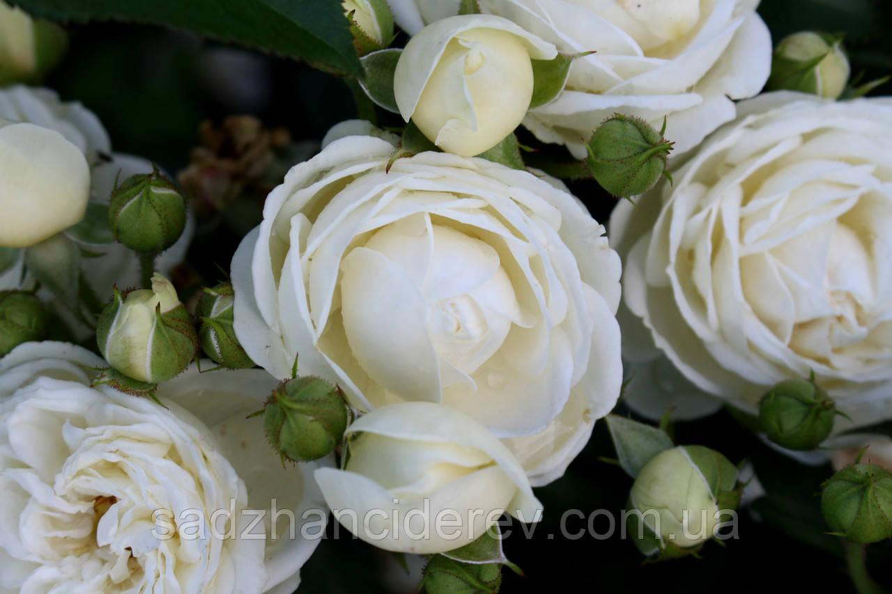 Саджанці троянд Артеміс (Artemis, Артемис)
