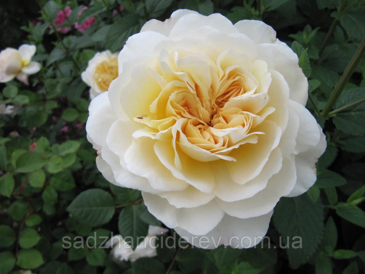 Саджанці троянд Крокус Роуз ( Rose Crocus)