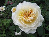 Саджанці троянд Крокус Роуз ( Rose Crocus), фото 1