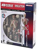 Объемная анатомическая модель Скелет человека, 4D Master, фото 1
