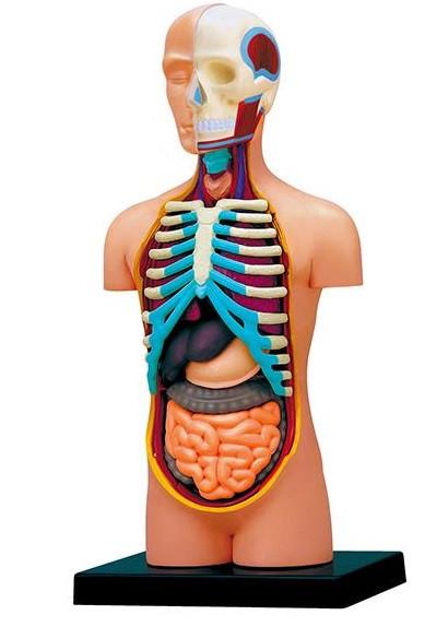 Объемная анатомическая модель Торс человека 4D Master (FM-626003)
