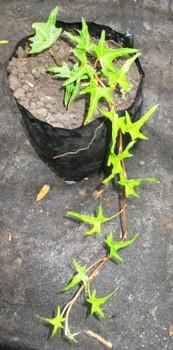 Плющ узколистный Sagittaefolia. Саженцы в контейнерах Д12