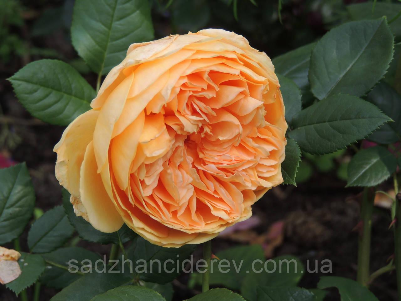Саджанці троянд Краун Принцеса Маргарет (Crown Princess Margaret)