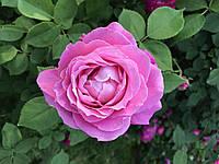 Саджанці троянд  Луіз Одьє (Луиз Одье, Louise Odier)