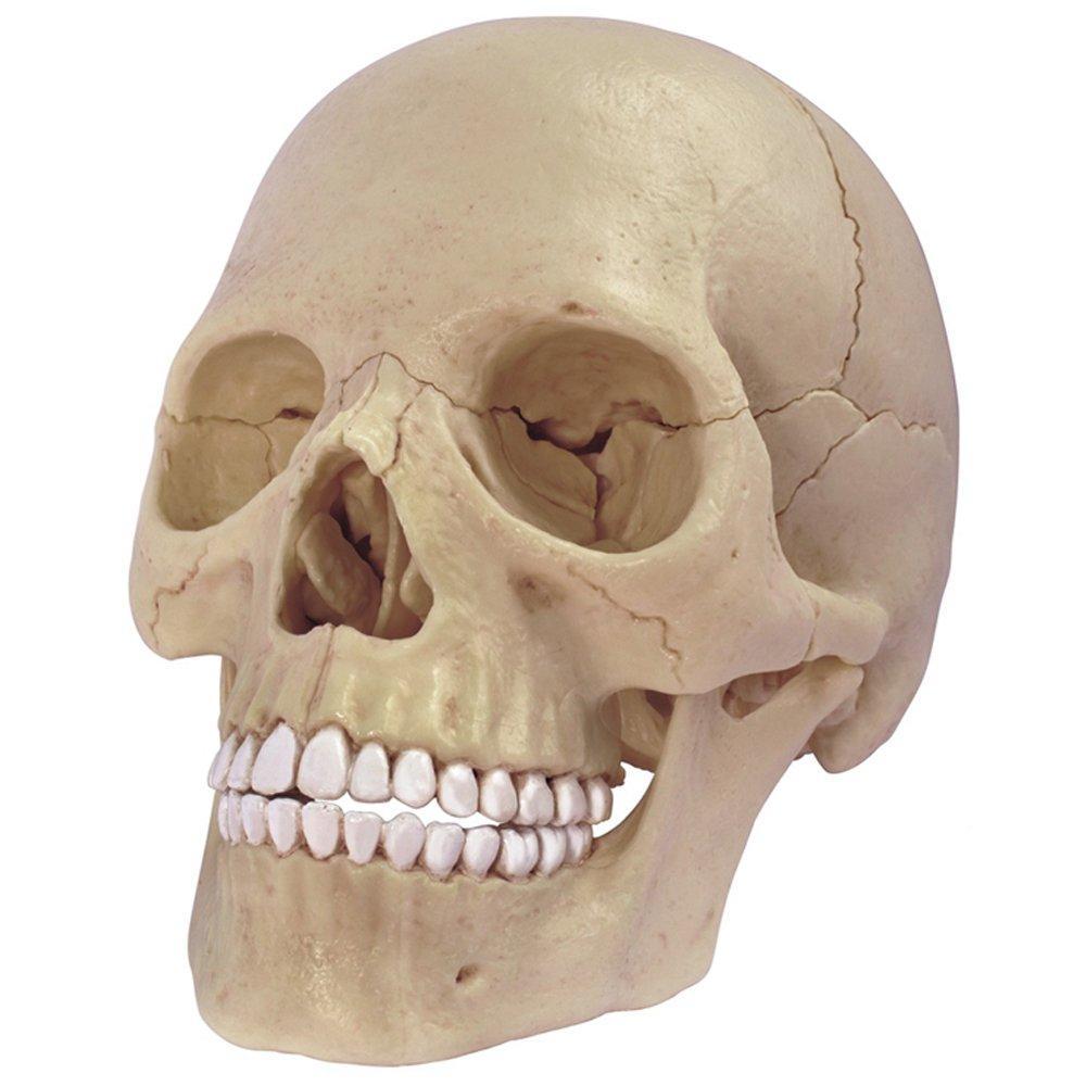 Объемная анатомическая модель Череп человека 4D Master (FM-626111)
