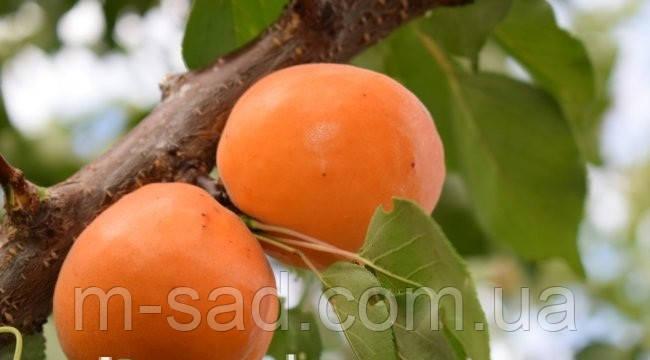 Абрикос Ерли Ред Оранж.(сверх ранний,зимостойкий,урожайный), фото 2