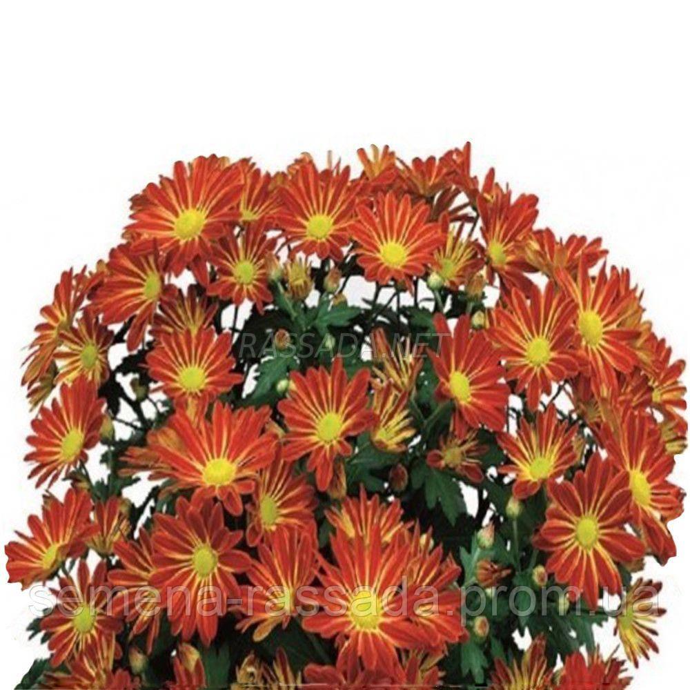 Хризантема Батон Руж красно-жёлтая среднерослая Черенок 2-5 см