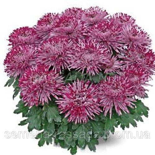Хризантема Сантош сиреневая Черенок 2-5 см
