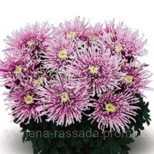 Хризантема Сюзан розовая Черенок 2-5 см