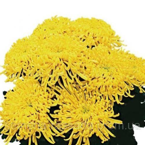 Хризантема Якана жёлтая Черенок 2-5 см