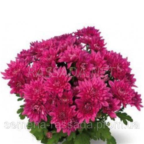 Хризантема Марио бордовая Черенок 2-5 см