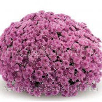 Хризантема Бимед розовая Черенок 2-5 см