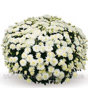 Хризантема Бранис белая Черенок 2-5 см