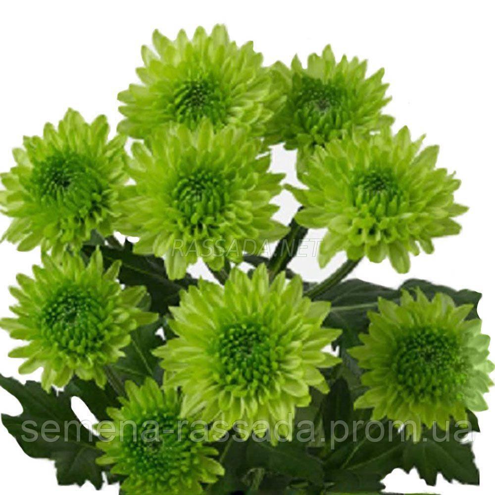 Хризантема Авокадо зелёная Черенок 2-5 см