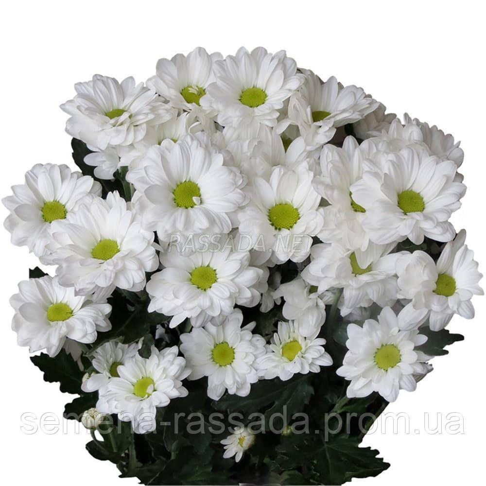 Хризантема Бакарди белая Черенок 2-5 см