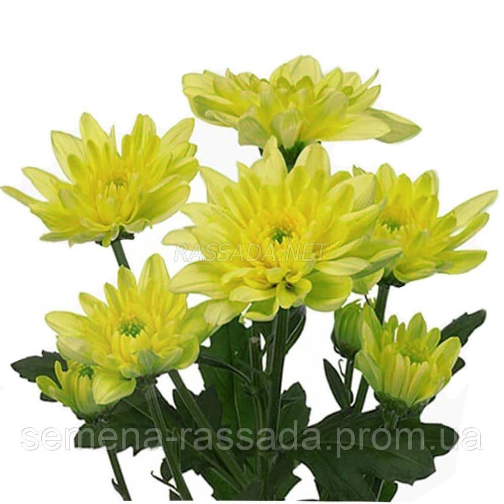 Хризантема Балтика лимонная Черенок 2-5 см